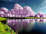 Lavender trees on the lake