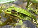 Cerkniško jezero - zelena žaba (Pelophylax esculentus)
