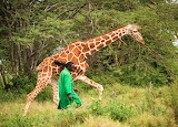 Only 90,000 Giraffes Remain ~ Orphan Kiko Soon Returned to Wild