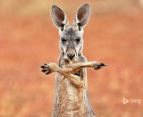 A red kangaroo in the Sturt Stony Desert. Australia