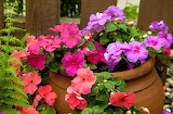 Pink and purple potted flowers