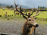 Scottish King of the herd