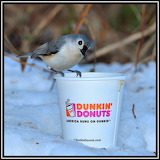 Tufted Titmouse & Dunkin' Donuts