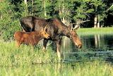 Moose & moose calf