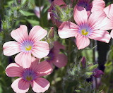 Tiny Flower Big on Color - Flox
