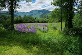 Mountain and Lupines
