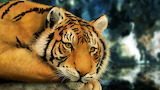 Tiger Painting...