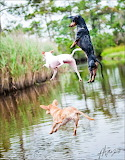 Dogs jumping in lake