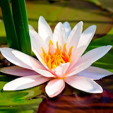 Water Lily...
