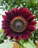 Flor - Flower