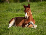 Foal lying on the grass