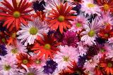 asters flower