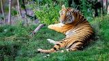 Tiger-on-grass