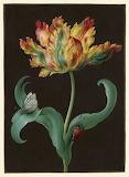 """Flower Tulip """"Barbara Regina Dietzsch"""""""