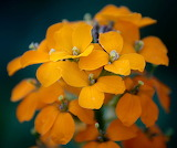 Wildflower - Plains Wallflower