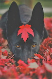 Black dog red leaves