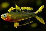 Forktailed-Rainbow-Fish-