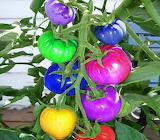 rainbow colored tomatoes