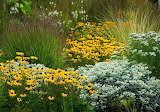 Black eyed susans with ornamental grass