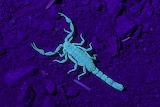 Scorpion at night