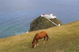 horse in Azores Islands, Portugal