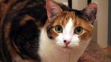 Calico cat 12
