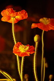 #Beautiful Poppies by Roving Eye Photography