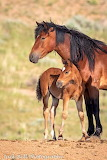 Mare and foal at McCullough Peaks wild horse range in Wyoming