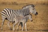 Zebra-Mom&Child