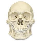 Replica Human Skull - Robust Asian Male