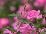 Pink-rose-flowers