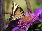 Eastern Tiger Swallowtail butterfly on Clematis