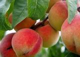 ^ Peaches