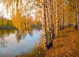 Yellow Birches - Photo 1040606 from Pixabay by Irina