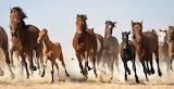Wild Horses (13)