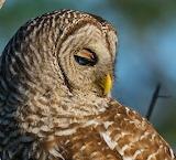Birds - Barred Owl - Texas
