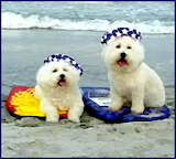 Bichon Beach Boys Mosaic.