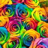 🌹Rainbow Roses...