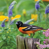 Baltimore Oriole among flowers