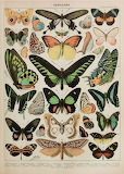 vintage French butterfly chart