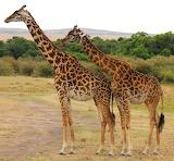 Giraffes ~ Kenya