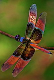 #Colorful Dragonfly