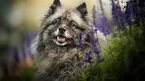 Wolfspitz-dog
