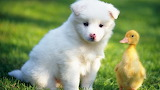 щенок и утенок