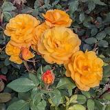 Rose (Rosa 'Good as Gold')