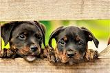 Rottweiler - puppies
