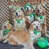 St. Patrick's Day Goldens