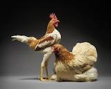 16-5ddbeaf697ba7 880 Chickens
