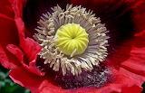 inside a poppy
