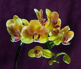 Orchid Phalaenopsis Cultivar Yellow 01 CC0